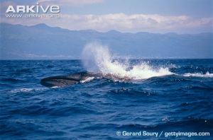 Sei-whale-breaching
